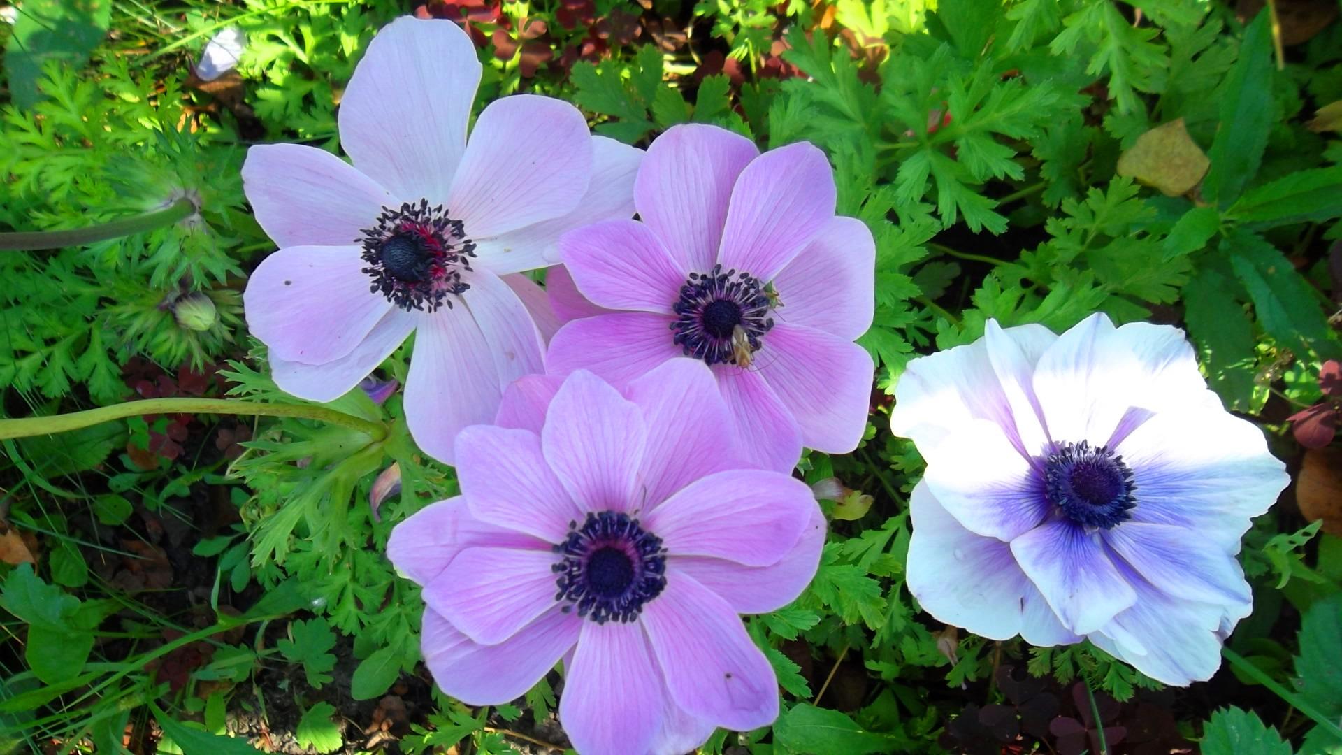 Многолетний цветок анемоны фото