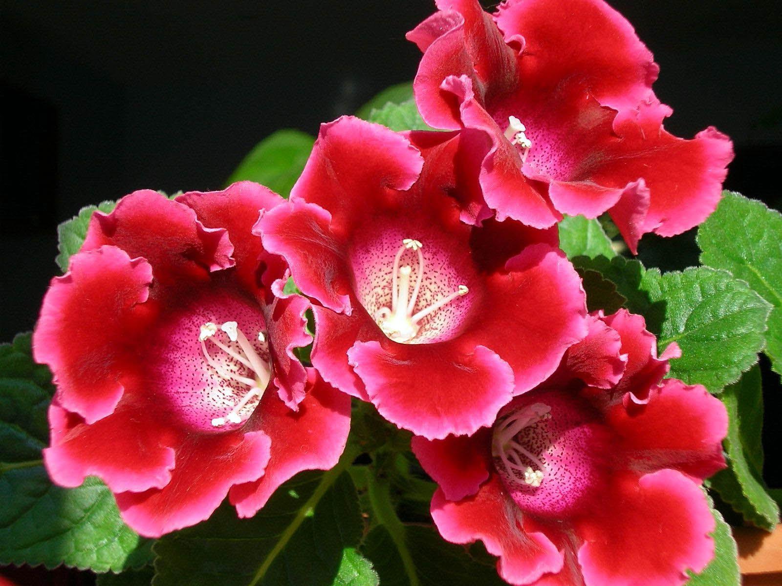 Разновидности цветов глоксинии