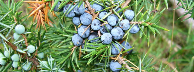 Можжевельник обыкновенный: описание, уход и посадка, размножение, применение в саду, фото