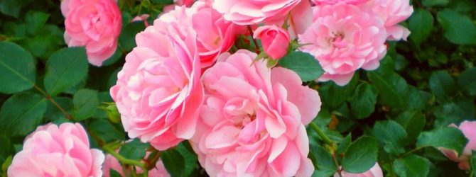 Чайная роза: сорта и виды