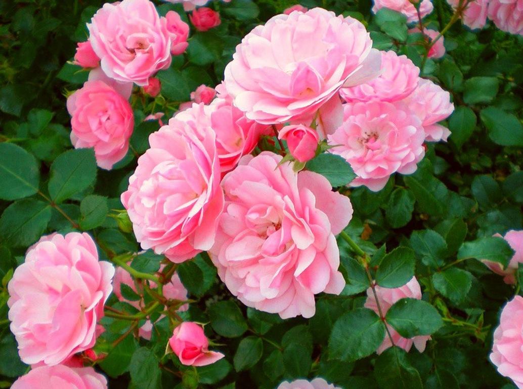 Размножение роз из цветов роз