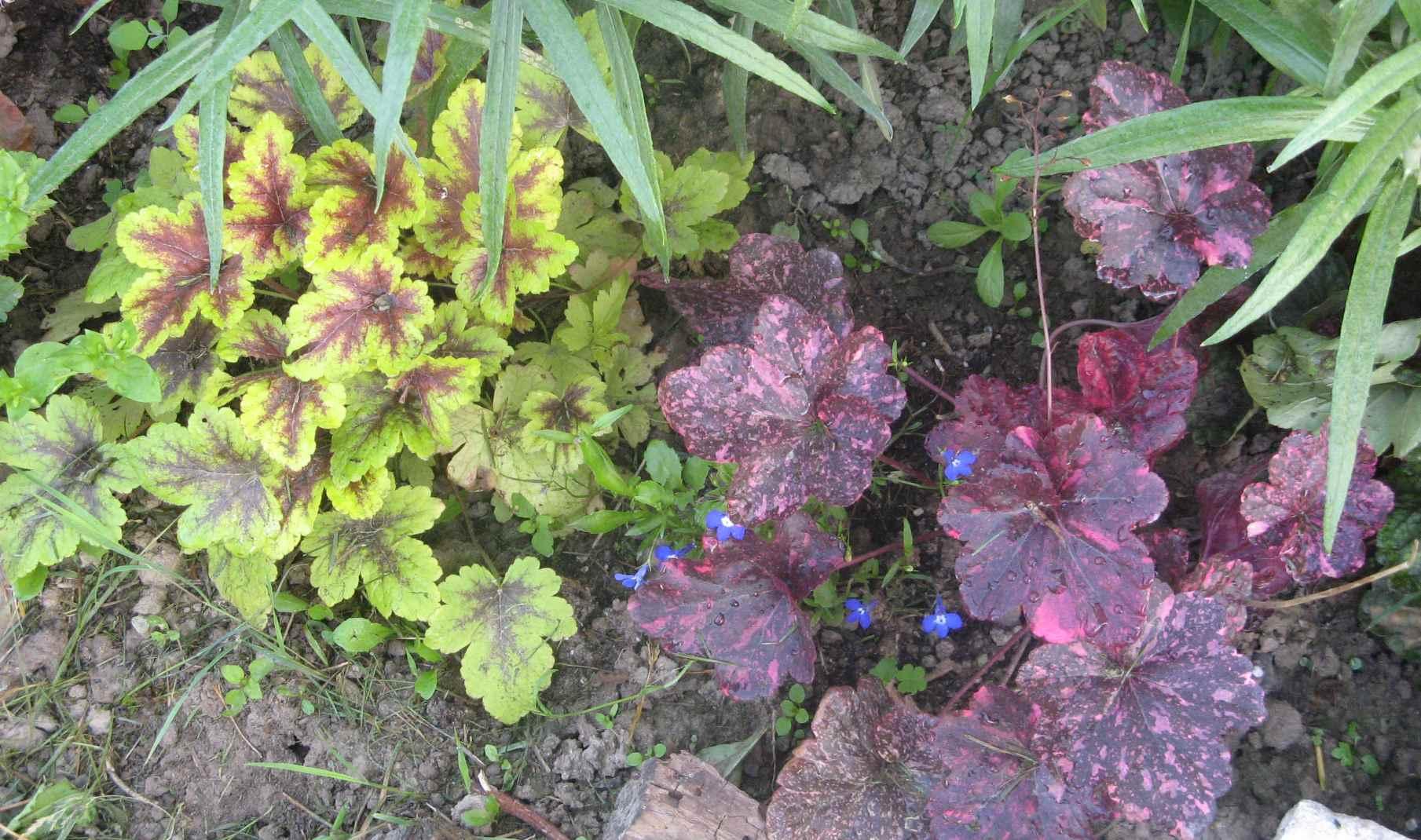 Выращивание гейхеры из семян