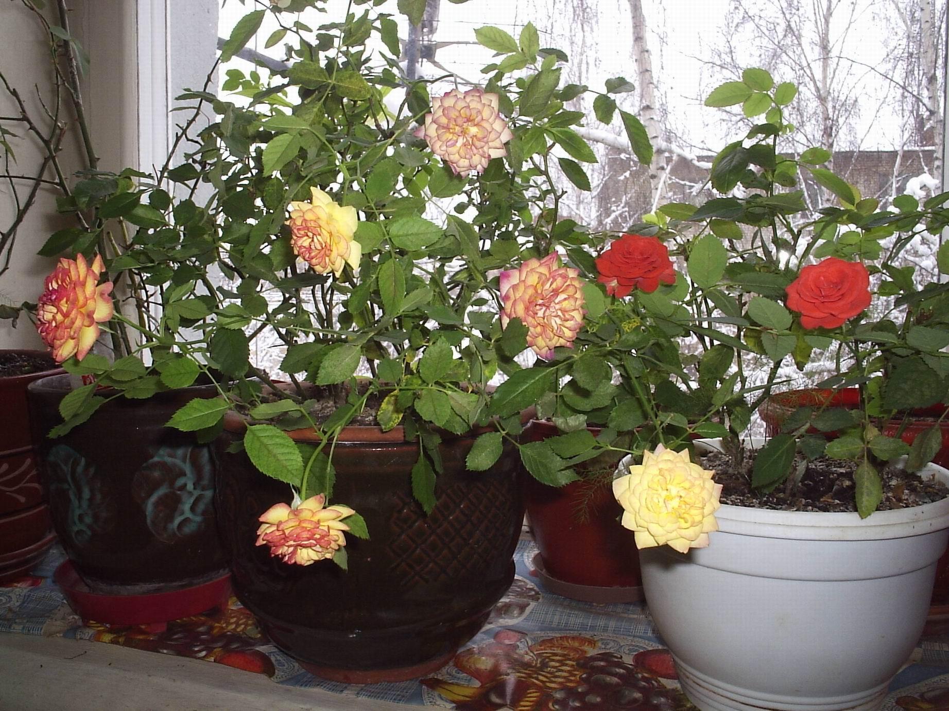 Домашние розы и уход за ними фото