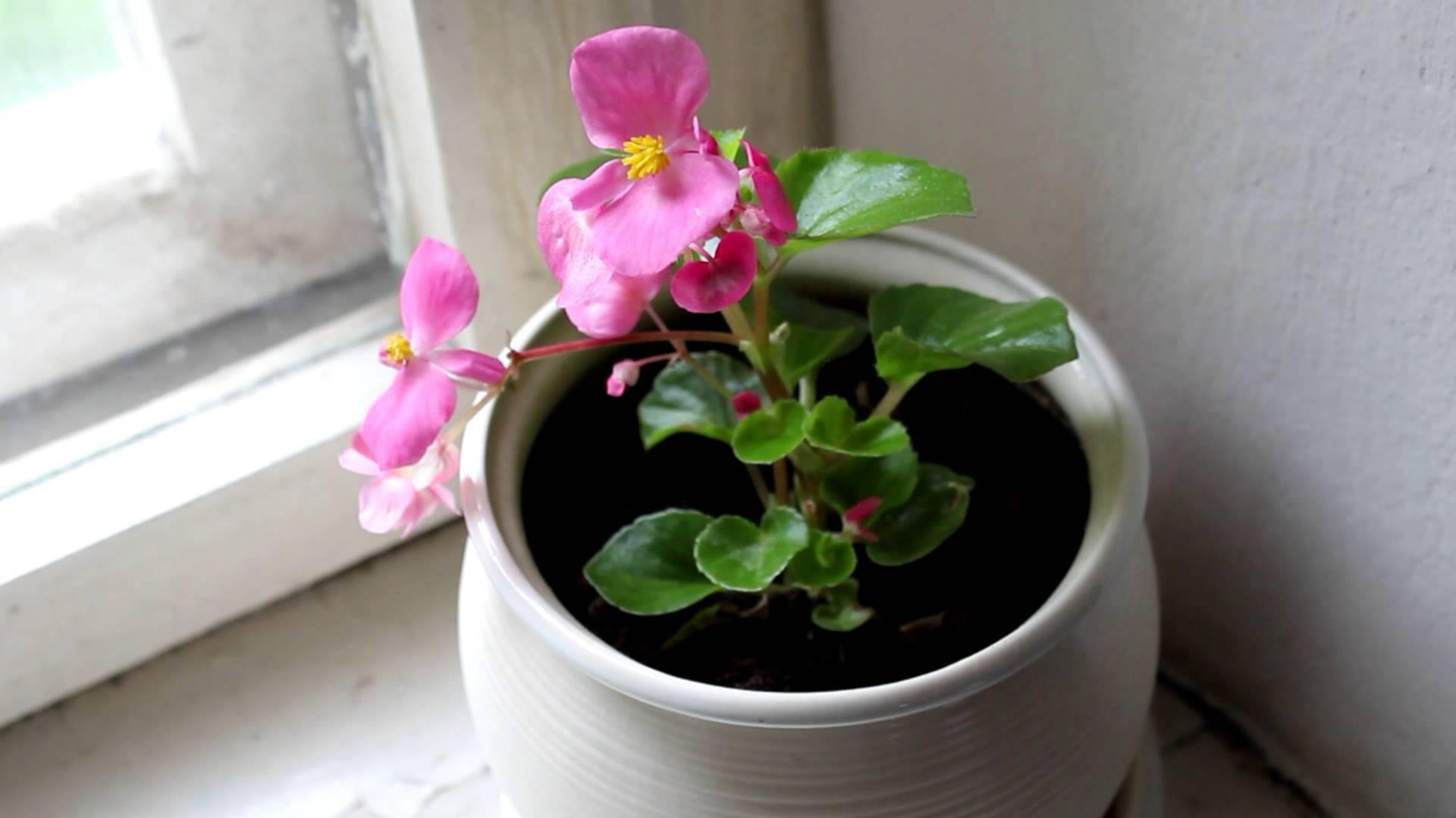 Комнатные растения: Фиалки