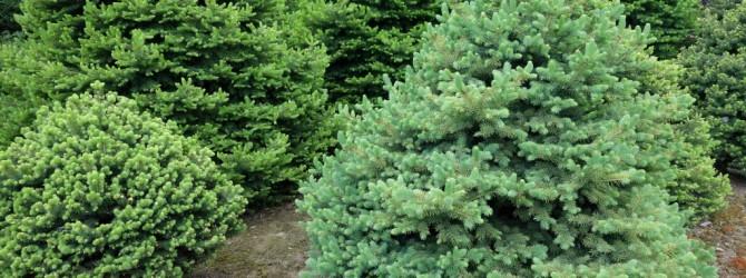 Ель Коника: описание, выращивание, уход и посадка, применение в саду, фото.