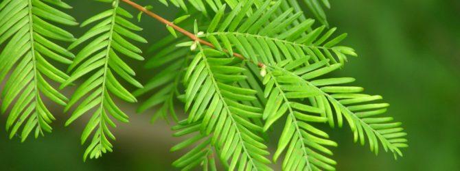 Метасеквоя: описание, уход и посадка, размножение, применение в саду, фото