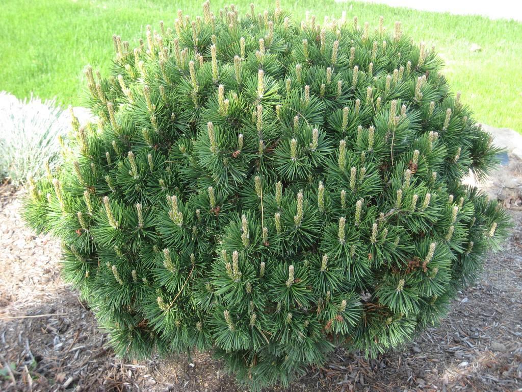 Горная сосна: описание, уход и посадка, размножение, применение в саду, фото.
