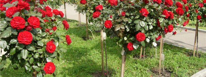 Посадка штамбовых роз