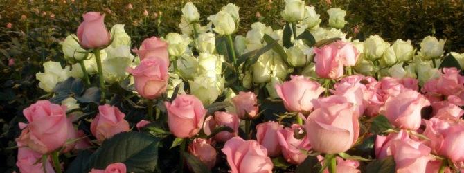 Условия выращивания роз