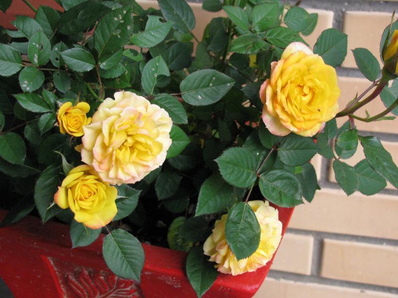 Выращивание домашней розы: посадка, поливка, пересадка, обрезка, профилактика болезней