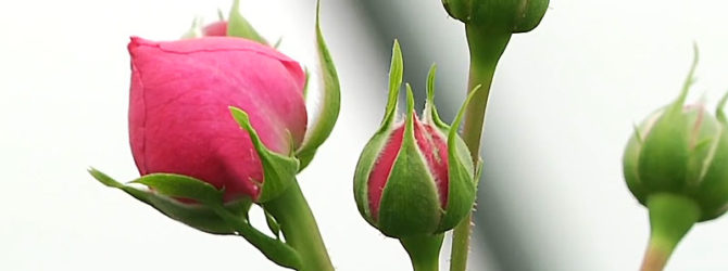 Как правильно покупать розы