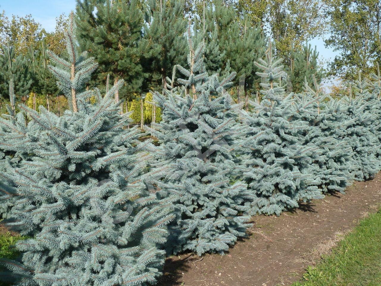 Ель голубая: описание, уход и посадка, размножение, применение в саду, фото