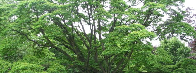 Амурский бархат – пробковое дерево у вашего дома