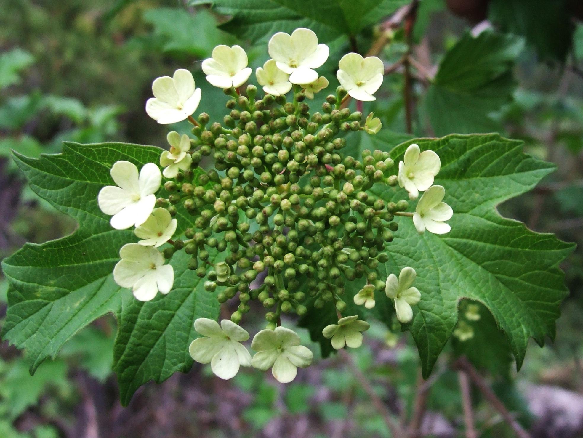 Калина обыкновенная: описание, размножение, уход, посадка, применение в саду, фото, сорта и виды