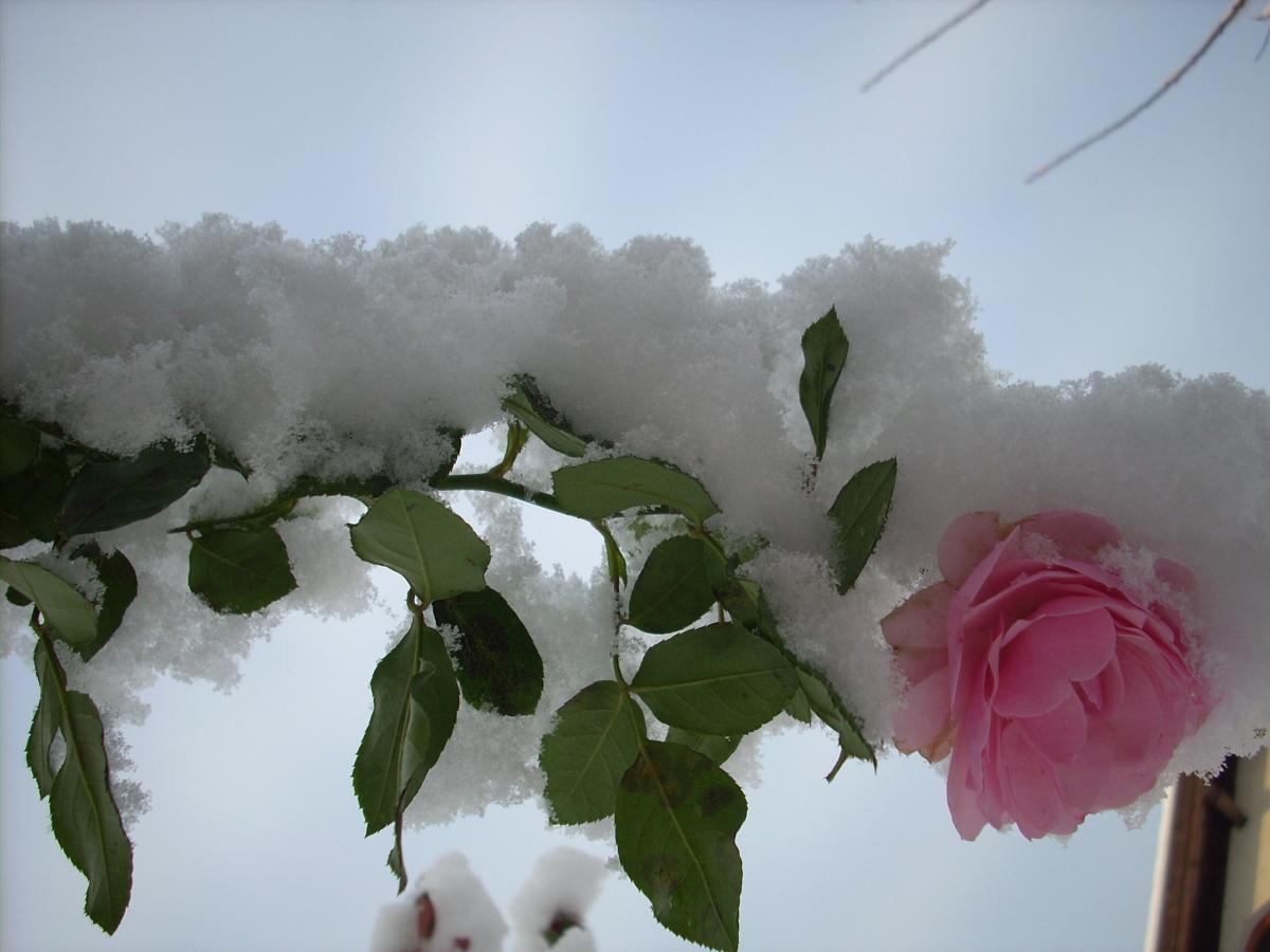Видео 10. Как посадить розу?