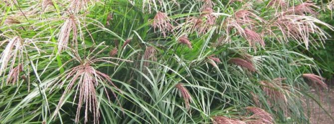 Мискантус: описание, размножение, уход, посадка, применение в саду, фото, сорта и виды