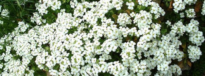 Арабис (Резуха): описание, размножение, уход, посадка, применение в саду, фото, сорта и виды