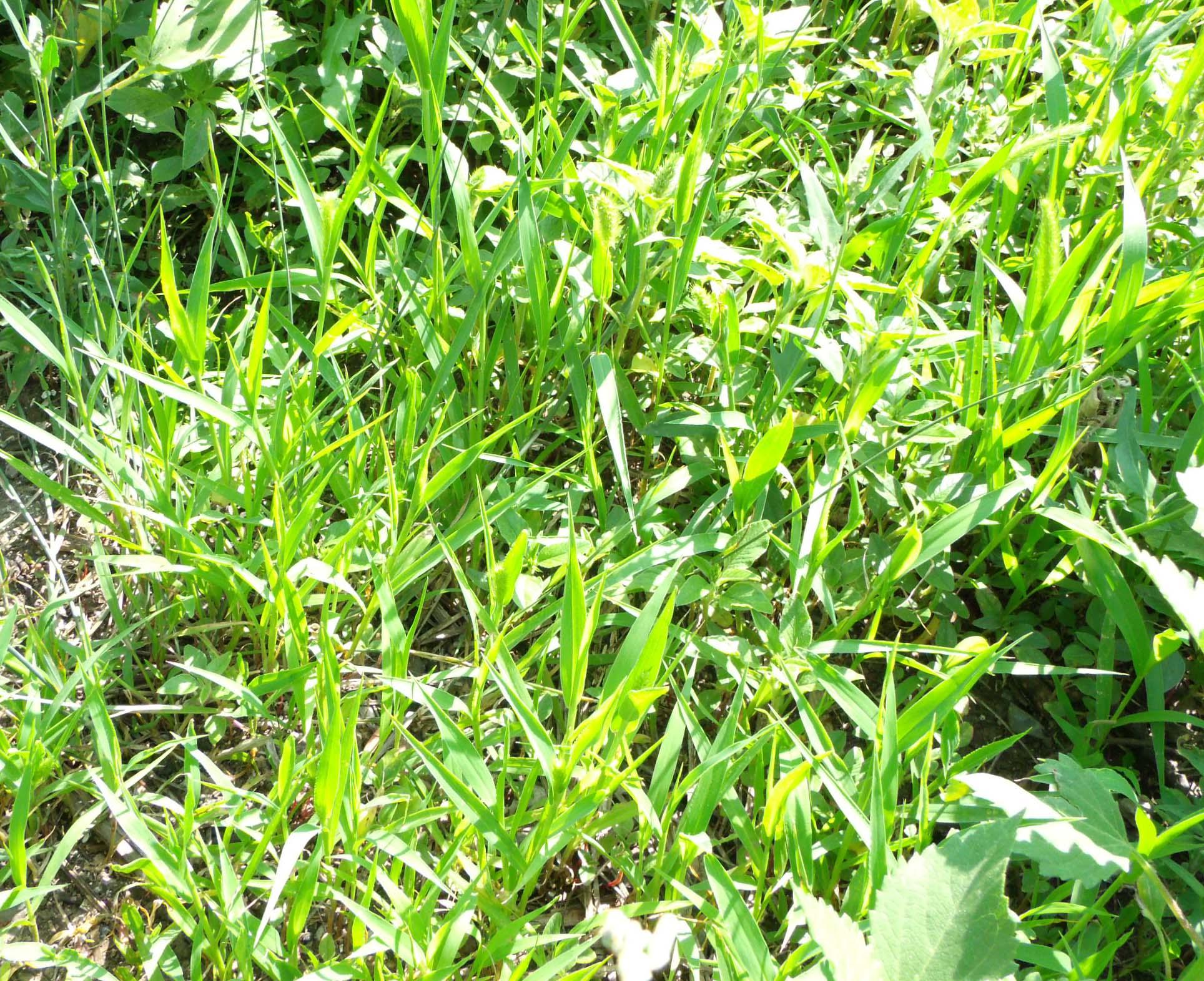 сорняк мокрица