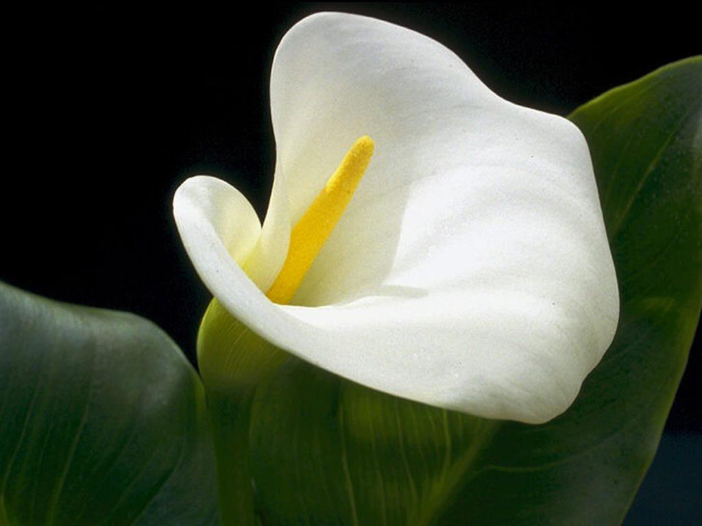 Согласно летнему соннику, каллы являются предвестником изобильной жизни.