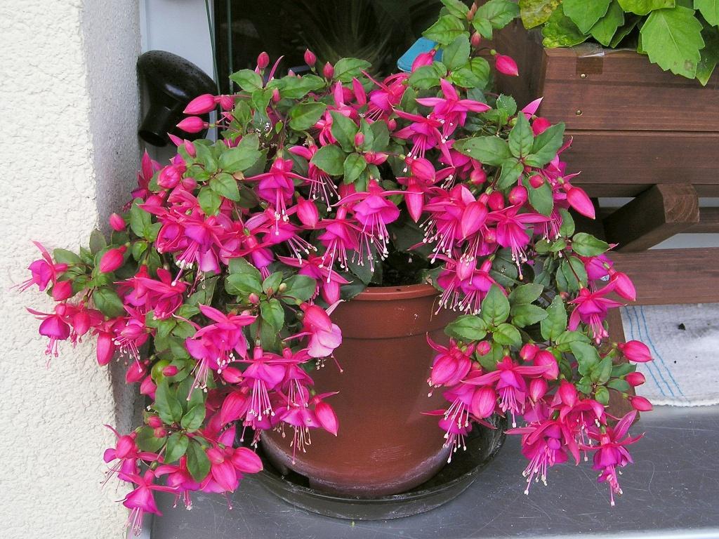 Комнатные цветы ампельные уход