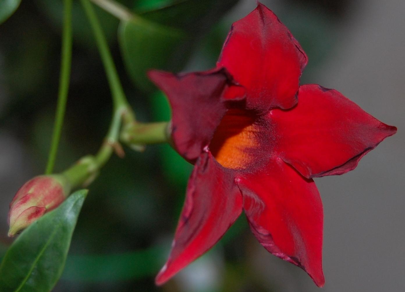 Цветы дипладения уход