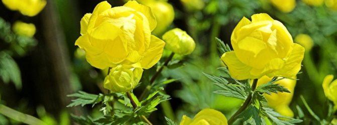 Купальница (Купава, Троллиус): описание, размножение, уход, посадка, применение в саду, фото, сорта и виды