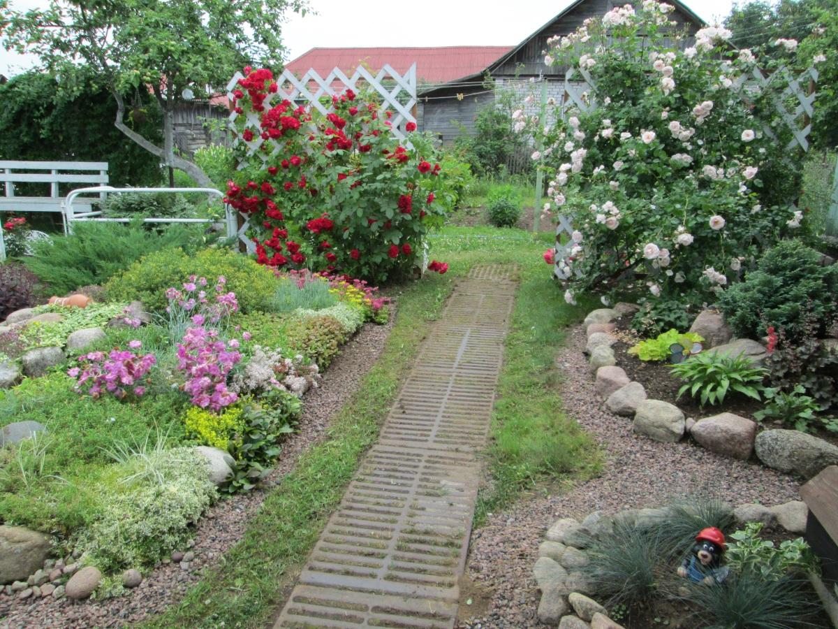 Плетистые розы где сажать 175