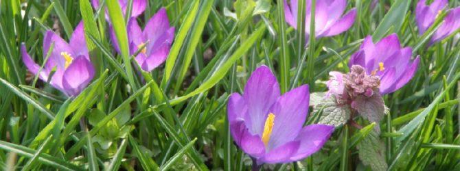 Иридодикциум: описание, размножение, уход, посадка, применение в саду, фото, сорта и виды