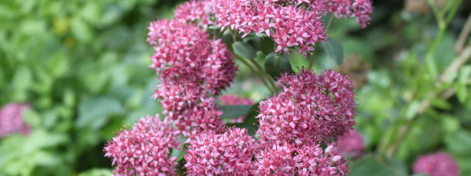 Очиток (Седум): описание, размножение, уход, посадка, применение в саду, фото, сорта и виды