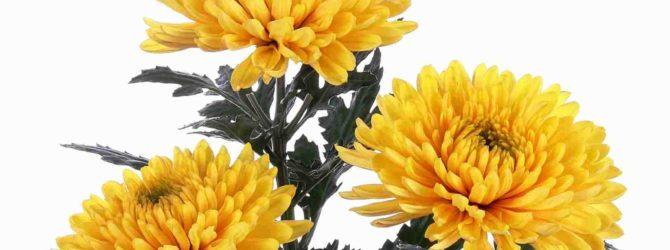 Хризантема: описание, размножение, уход, посадка, применение в саду, фото, сорта и виды