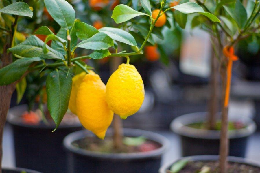 Сорта лимона: Новогрузинский, Мейера, Пандероза