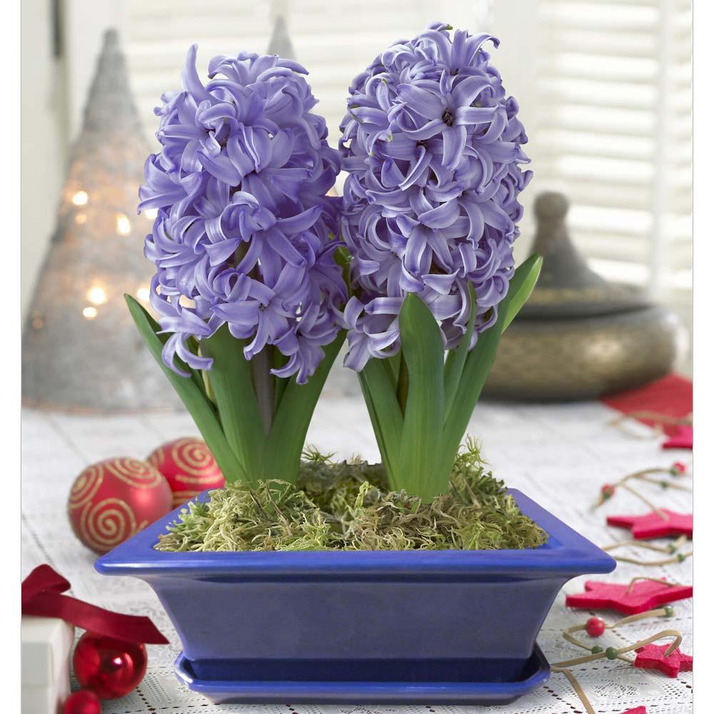 Выгонка цветов: подарите себе букет