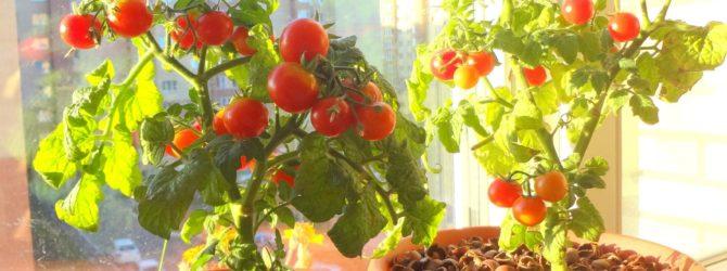 Видео 24. Выращивание томатов