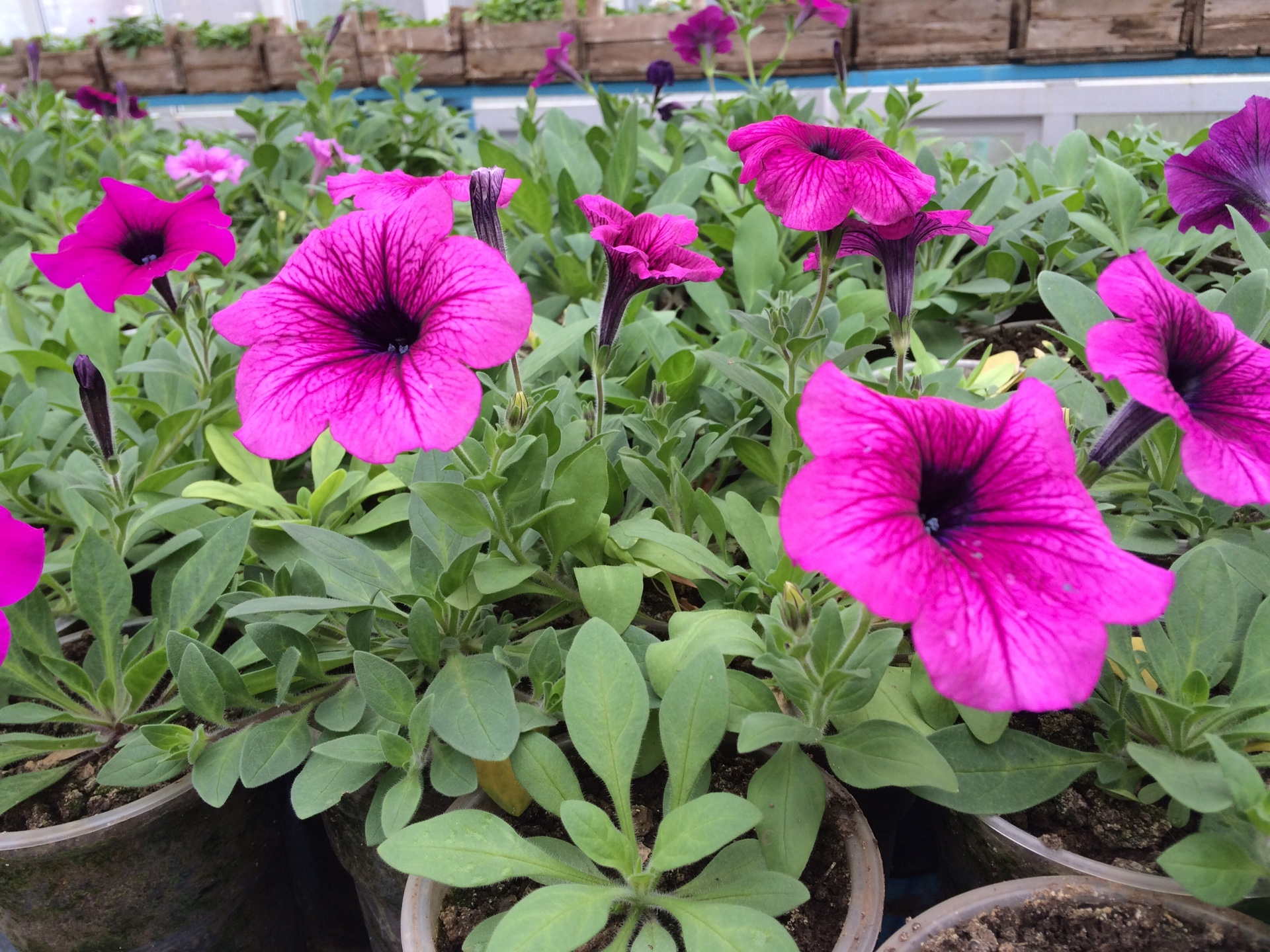 Видео 21. Выращивание рассады петунии