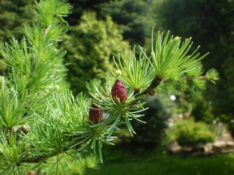 Видео 4. Выращивание лиственницы в саду