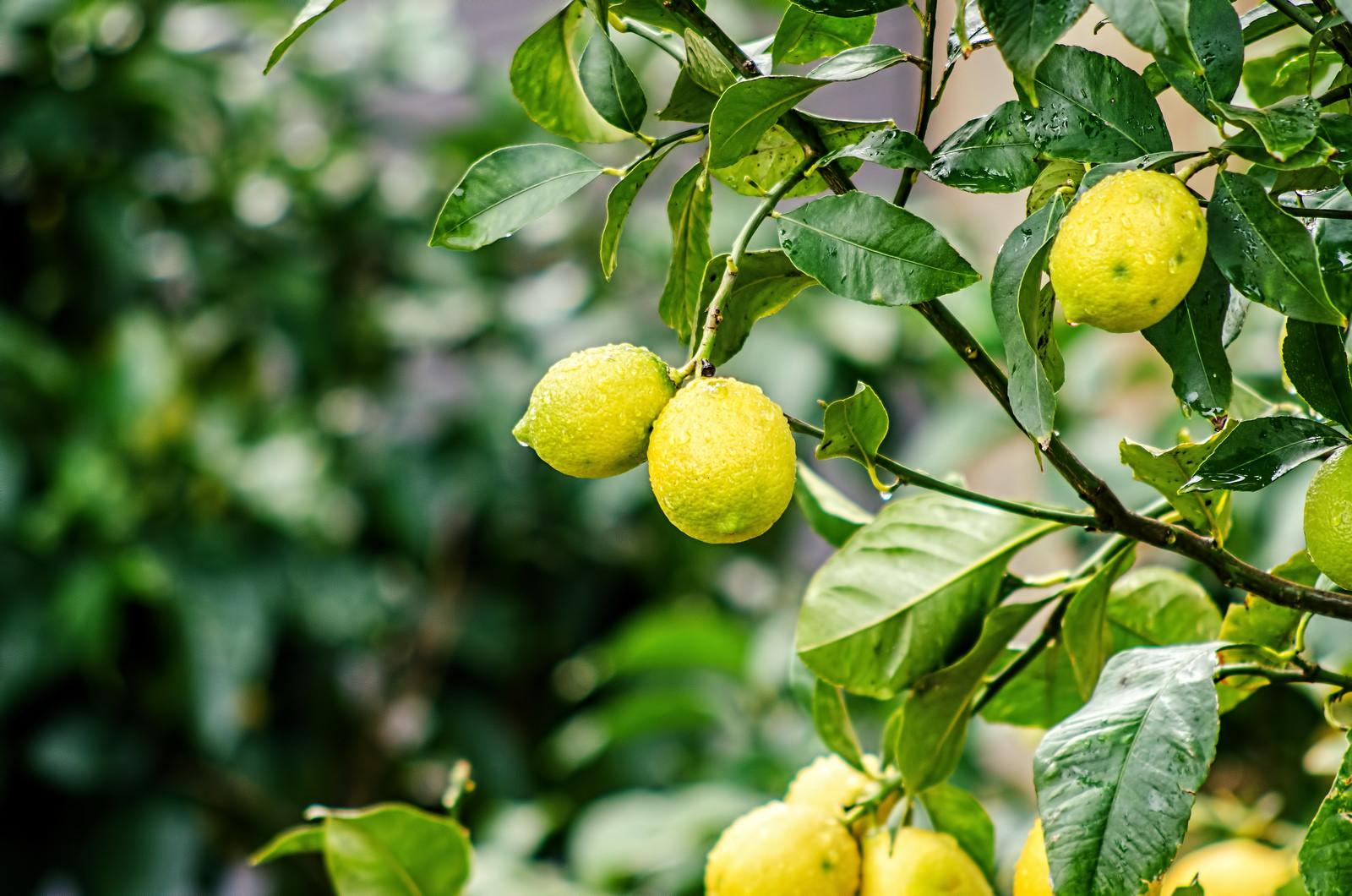 Чтобы лимон дал плоды