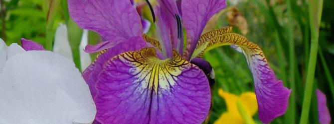 Ирис бородатый крупноцветковый