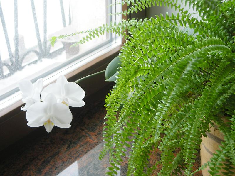 Уход за комнатными папоротниками - описание, размножение, уход, посадка, фото, применение в саду, сорта и виды