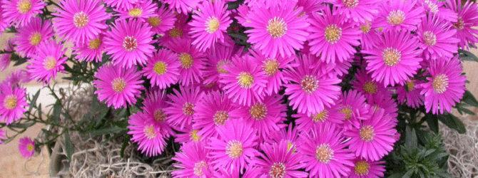 Астра: описание цветка, основные виды астр, уход за астрой, размножение астры, пересадка.