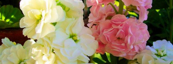 Левкой: описание цветка, посев левкоя, выращивание, необходимый уход.
