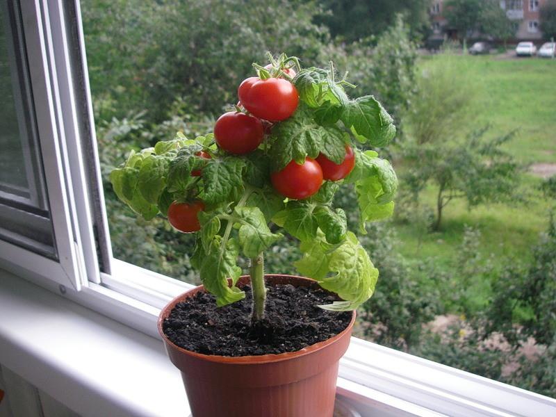 Огород на подоконнике, выращиваем помидоры