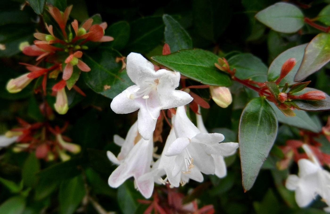 Абелия крупноцветковая: описание растения, необходимый уход, размножение абелии крупноцветковой