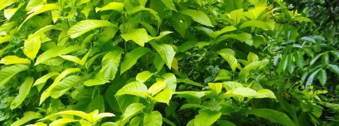 Ода для декоративно-листных растений
