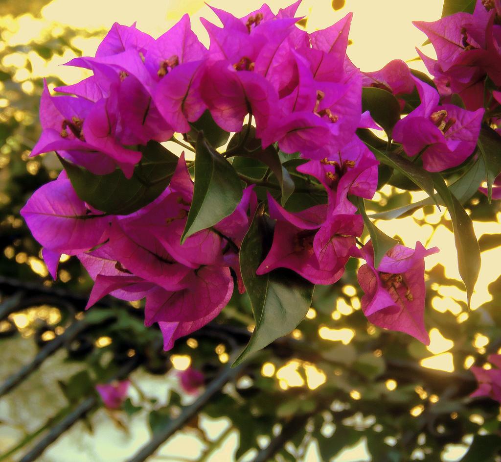Бугенвиллея: описание цветка, уход и выращивание бугенвиллеи, размножение