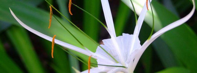 Гименокаллис ранний (Исмене): описание, размножение, уход, посадка, применение в саду, фото, сорта и виды