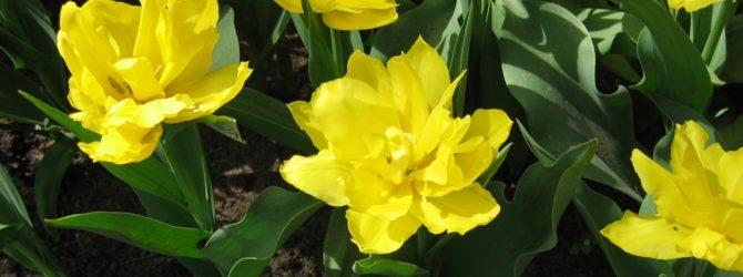 Юнона: описание, размножение, уход, посадка, применение в саду, фото, сорта и виды
