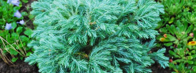 Кипарисовик Лавсона: описание, размножение, уход, посадка, применение в саду, фото, сорта и виды