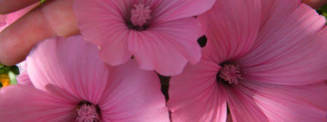 Лаватера (Садовая роза): описание, размножение, уход, посадка, применение в саду, фото, сорта и виды