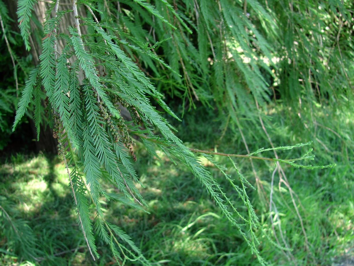 Кипарис болотный: описание, размножение, уход, посадка, применение в саду, фото, сорта и виды
