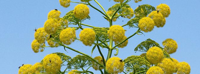 Ферула: описание, размножение, уход, посадка, применение в саду, фото, сорта и виды